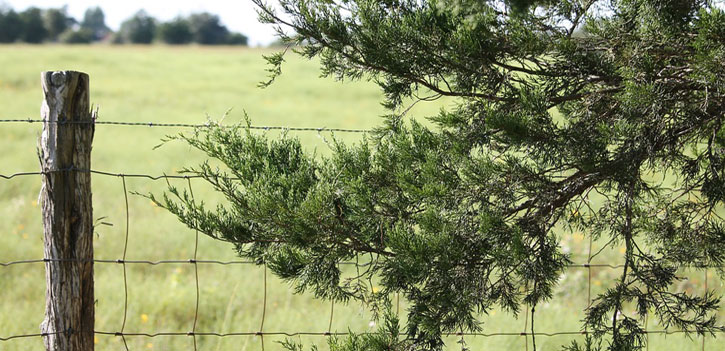 Use Cedar Trees for Fencing