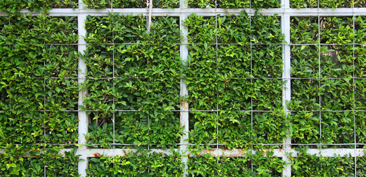 Cover your fence with English Ivy