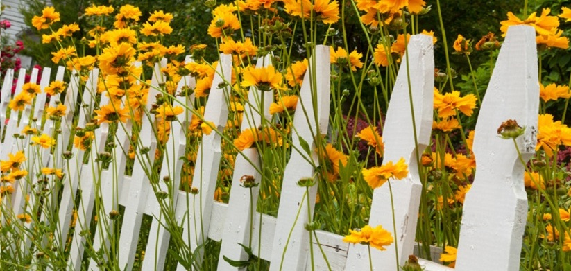 Beautiful White Fence Yellow Daisies Border with Sunflowers