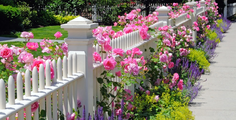 Decorate your front door white fence with Climbing Roses