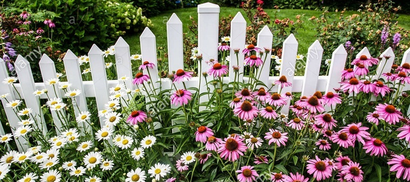 green and white daisies with white fences